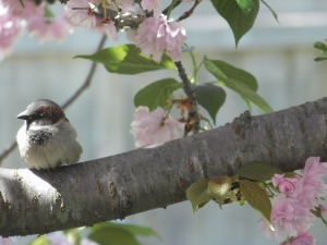 sparrow on cherry tree branch
