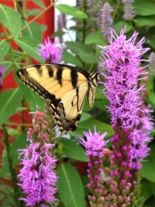 Butterfly from Pinelands Direct