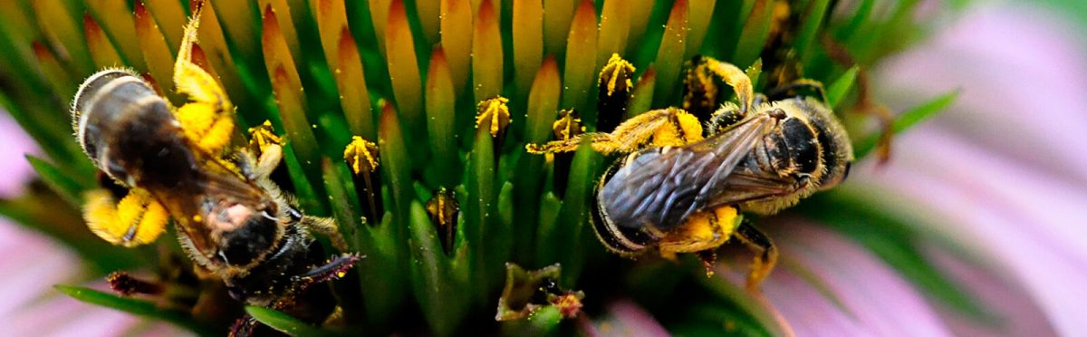 Echinacea purpurea bees -- Michael Raby - Jersey Friendly Yards